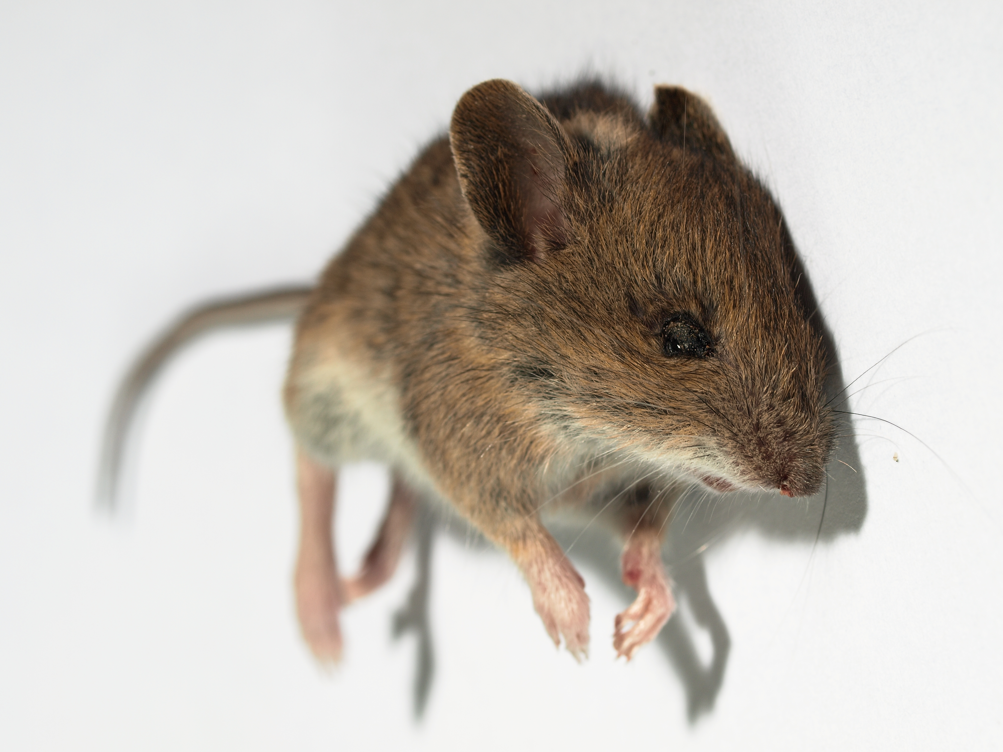 Mice, autism-like behaviour and antipurinergic therapy (and the 100 year old drug)