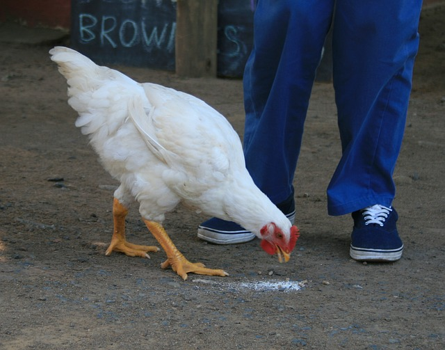 Autism and Therapy Chickens