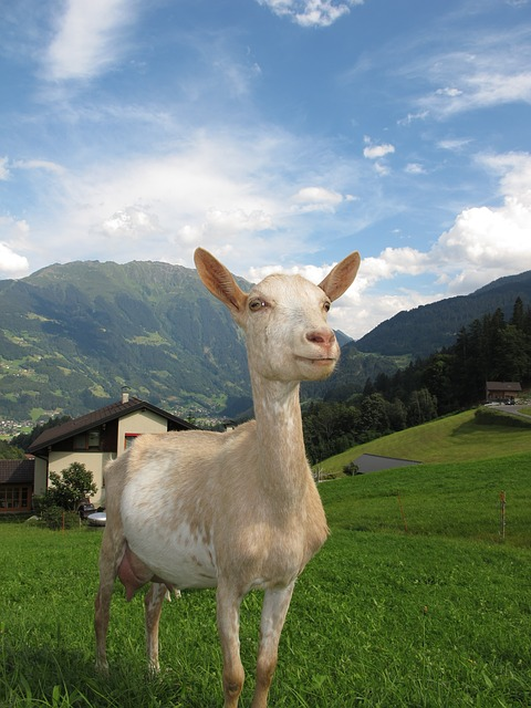 Cleopatra the Goat helps Autistic Children at School